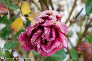 Rose w snow 2